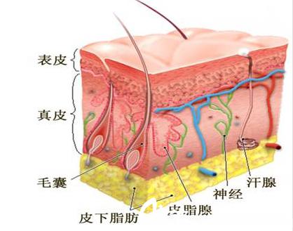 皮肤结构图