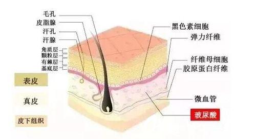 玻尿酸在人体中的位置