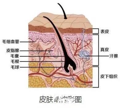 皮肤构造结构图
