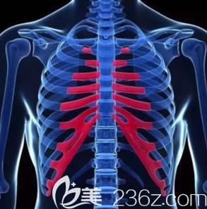 肋骨和肋软骨的示意图