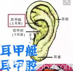 耳朵软骨的结构