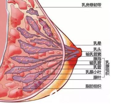 胸部组织图解