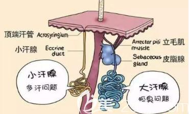 大汗腺和小汗腺