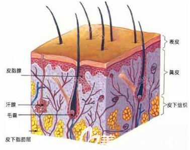 毛囊的构造