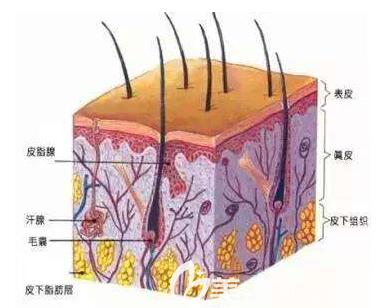 汗腺的分布