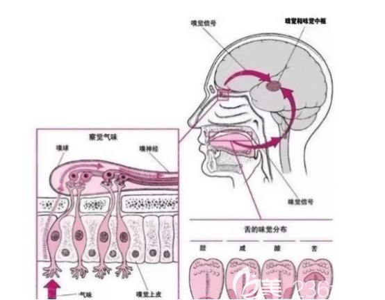 鼻部嗅觉系统