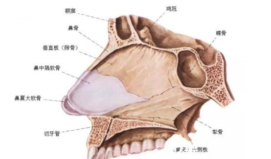 鼻中隔软骨的结构