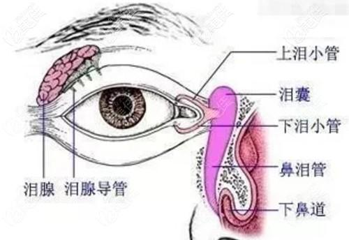 泪腺的位置