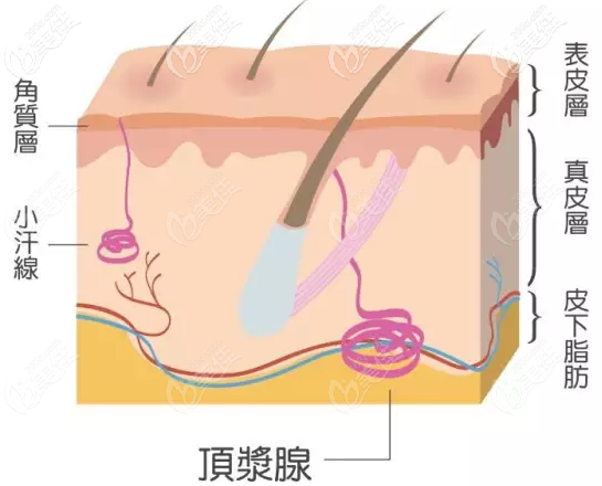 汗腺组织的分布