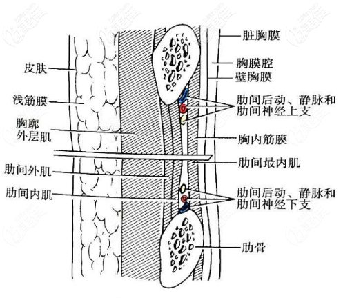 胸膜和肋软骨的距离